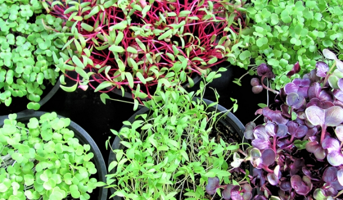 Microgreens: Adding nutrition to your diet